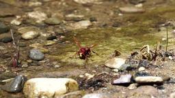Hornet sit on algae flask Footage
