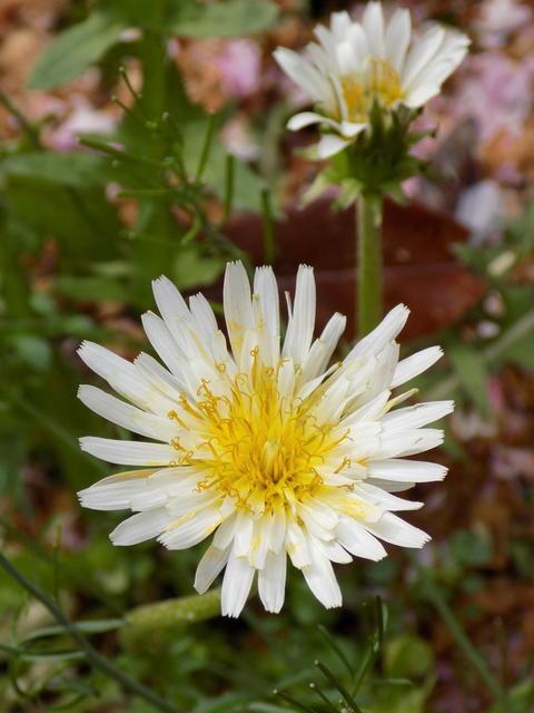 白花蒲公英 シロバナタンポポ dandelion (Taraxacum albidum) フォト