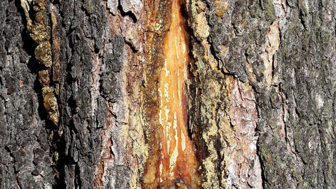 Resin on spruce tree trunk, horizontal shot Footage