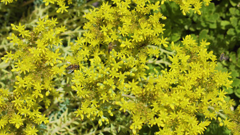 A large number of European bees pollinate yellow flowers... Stock Video Footage