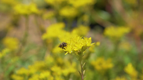 Bee gathering pollen on yellow flower Footage