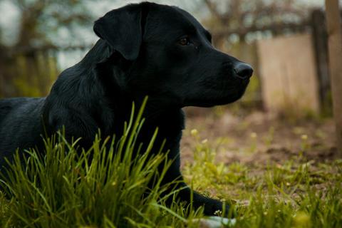 black labrador retriever on grass took the scent フォト