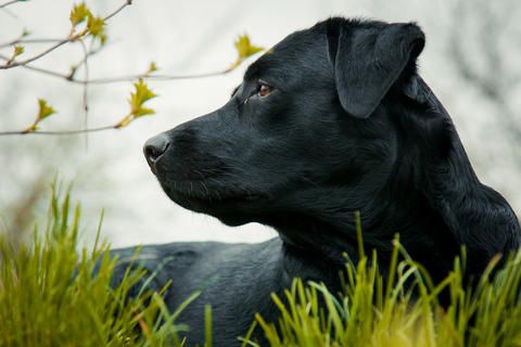 black labrador retriever on grass took the scent フォト