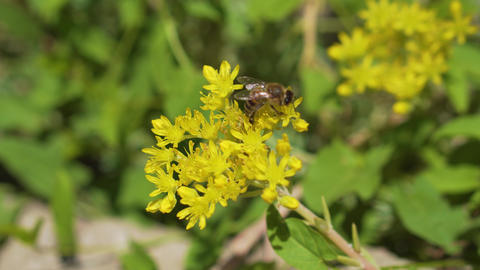 Bee close-up: eats the pollen of a flower Archivo