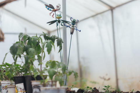 Home greenhouse with vegetable beds and shelves with seedlings. organically Photo
