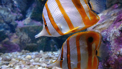 copperbanded butterflyfish or beak coralfish.  Live in the salt water, popular Footage