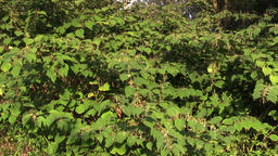 Knotweed Reynoutria and Fallopia japonica, bushes and invasive and expansive ビデオ