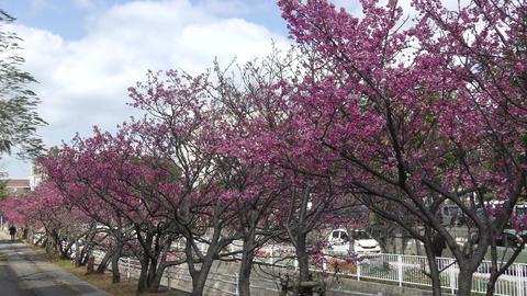 那覇 与儀公園の桜 ライブ動画