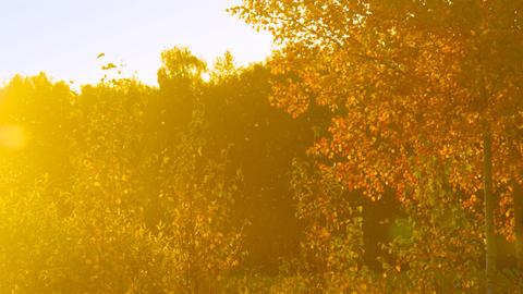 sun rays illuminate golden birch against dark forest Footage