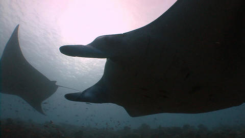 Great dive with large manta rays. Diving on the reefs of the Maldives archipelag Footage