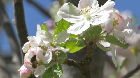 Bee on Apple Blossom Footage