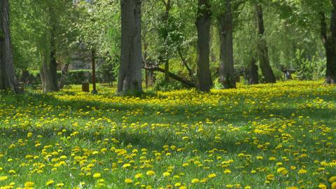 Spring Dandelions Park View Footage