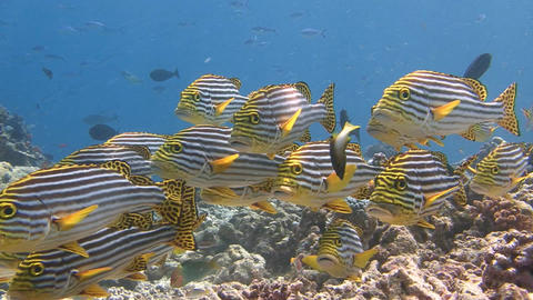 A flock of colorful fish sweetlips. Diving on the reefs of the Maldives archipel Live Action