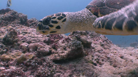 The Hawksbill turtle hovering over a coral reef. Diving on the reefs of the Mald Footage