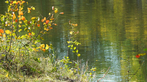 Bush with colorful leaves on the banks of a river or lake ビデオ