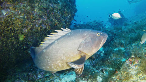 Nature sea life - Grouper fish underwater Footage