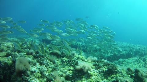 Undersea marine life - Salema fish school in a reef Live Action