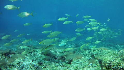 Salema fish shoal in a reef - Underwater marine life Live Action