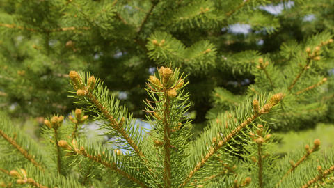 Close up needl pine tree in coniferous forest. Branches pine tree in forest Live Action