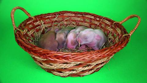 Cute bunny baby rabbit lop kit. New born bunnies ビデオ