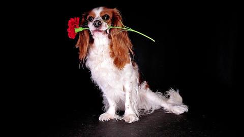 Valentine's flower dog gift present give cute animal concept Archivo