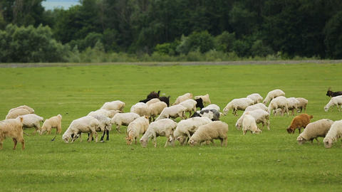 Flock of fluffy sheep and goats grazing in meadow eating juicy vitaminized grass Footage