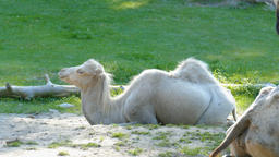 The young, white bactrian camel. Camelus bactrianus. Young speciment Live Action