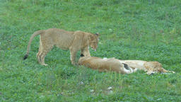 Female lion is resting with her offspring Live Action