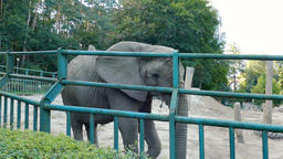 The African bush elephant at zoo. Wild animals in captivity Live Action