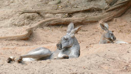 The red kangaroos are resting in shadow on the desert. Macropus rufus Live Action