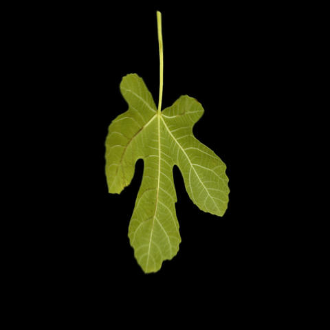 LEAF 7 Animation