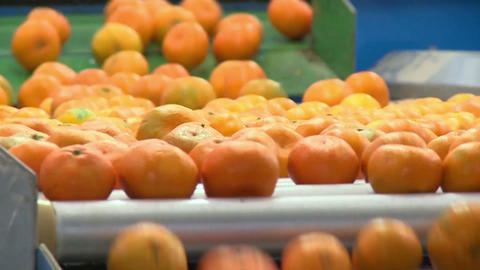 Tangerines On A Conveyor Belt Stock Video Footage