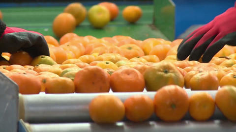 Tangerines On A Conveyor Belt Footage