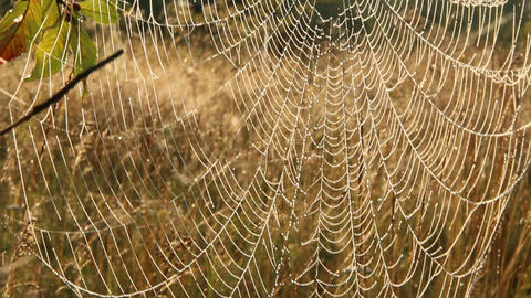 Spider's web closeup with drops of dew at dawn. House of spider Footage