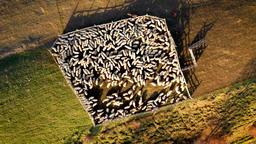 Aerial 4k sheep in shepfold Archivo
