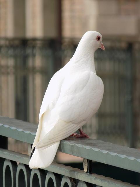 White dove Fotografía
