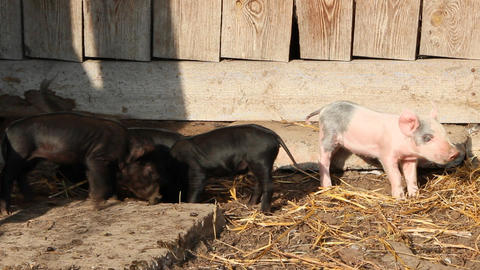 Piglets playing and jolly run in farm yard Live Action