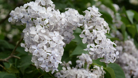 A little white lilac bud close up Footage