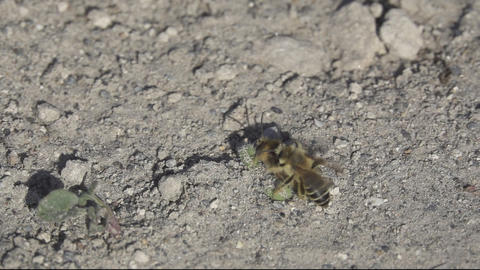 Bee atacks foreign one in super slow motion Footage