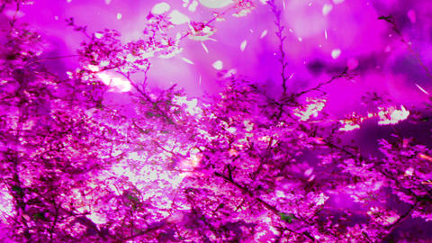 Cherry Blossoms 2377345j Animation