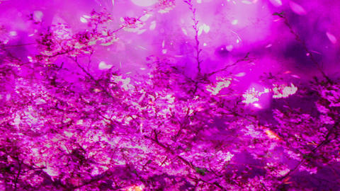 Cherry Blossoms 2377345j Stock Video Footage