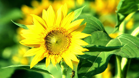Sunflower Footage