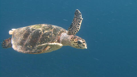 The Hawksbill turtle hovering over a coral reef. Diving on the reefs of the Mald Live Action