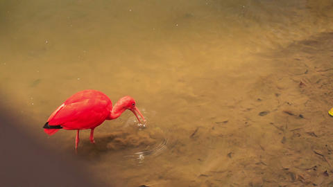 Closeup Bright Scarlet Ibis Walks in Shallow Water Footage