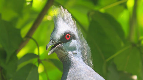 Closeup Grey Dove Head with Red Eye Looks Around Footage