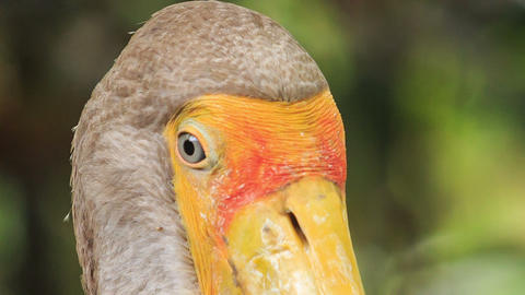 Extremely Closeup Sandhill Crane with Big Beak Looks to Camera Footage