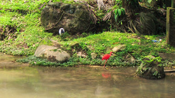 Scarlet Ibis and Siberian Crane Walk along Green Stony Bank Footage