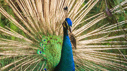 Colorful Peacock Turns Tail under Tree in Park Footage