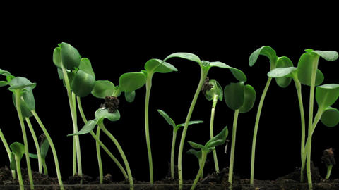 Time-lapse of germinating sunflower seeds in RGB + ALPHA matte format Footage