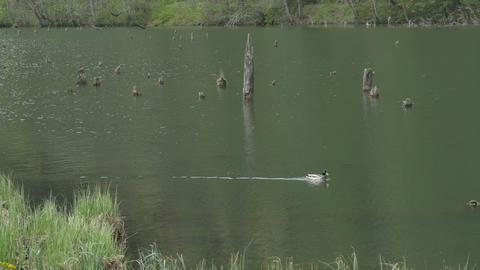 Swimming Duck Through Lake Footage